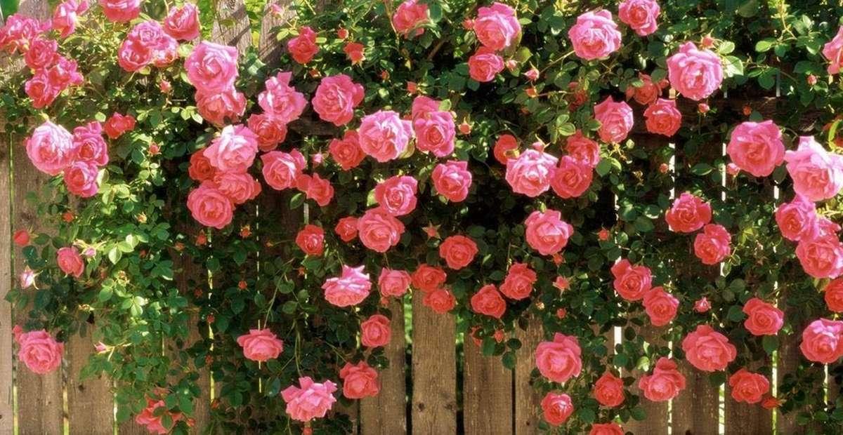 Hoa hồng nở muộn trên ngực áo mùa Vu lan
