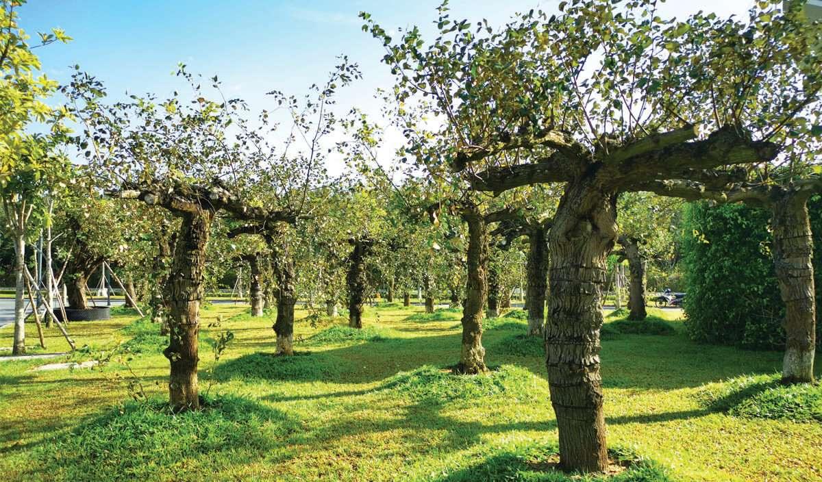 Vườn táo cổ