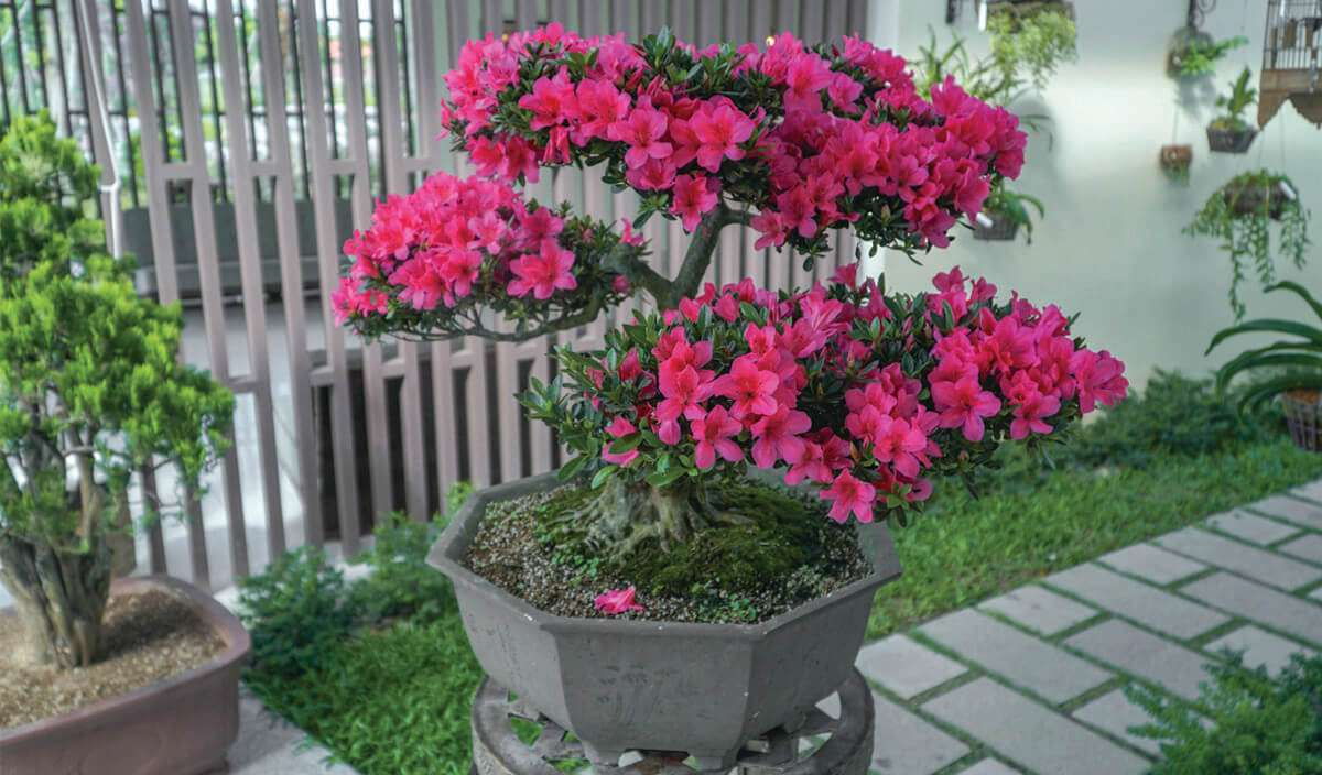 Hàng loạt cây bonsai đua nhau khoe dáng tại Sala Garden